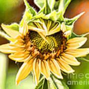 Sunflower Beauty - Painterly Art Print