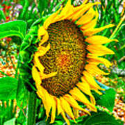 Sunflower Bloom Art Print