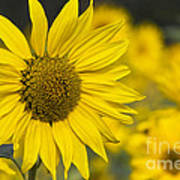 Sunflower Blossom Art Print