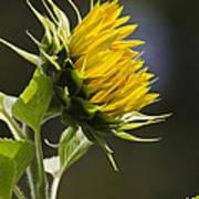 Sunflower Bright Side Art Print