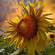 Sunflower Dawn Art Print by Debra and Dave Vanderlaan