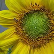 Sunflower Dew-bee Art Print
