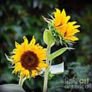 Sunflower Duo Art Print
