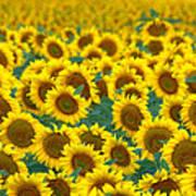 Sunflower Explosion Art Print