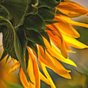 Sunflower Farm 1 Art Print