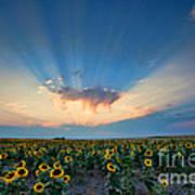 Sunflower Field At Sunset Art Print