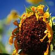 Sunflower Four Art Print