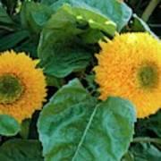 Sunflower (helianthus Annuus Tuberosus) Art Print