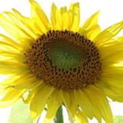 Sunflower In Light Art Print