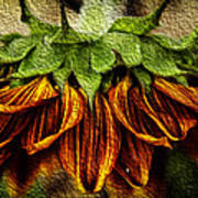 Sunflower Art Print by John Monteath