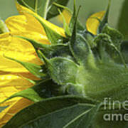 Sunflower Opening Art Print