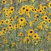 Sunflower Patch On The Hill Art Print by Tom Janca