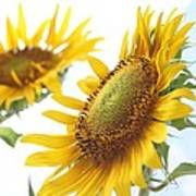 Sunflower Perspective Print by Kerri Mortenson