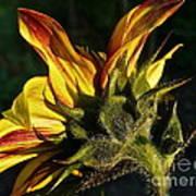 Sunflower Profile Art Print