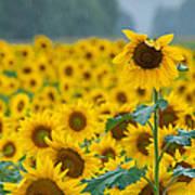 Sunflower Rain Sussex Nj Art Print