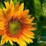 Sunflower Single Art Print
