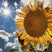 Sunflower Study 2 Art Print