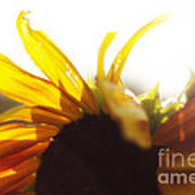 Sunflower Sunlight Art Print