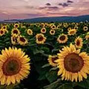 Sunflower Sunset II Art Print
