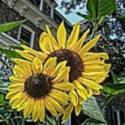 Sunflower Under The Gables Art Print