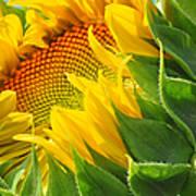 Sunflower Unfolding  Art Print