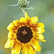 Sunflower With Honey Bee. Art Print
