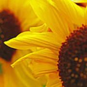Sunflower Yellow Art Print