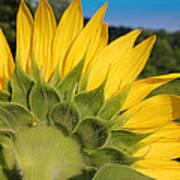 Sunflower1253 Art Print