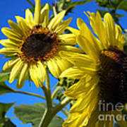 Sunflowers Abound Art Print
