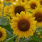 Sunflowers At The Farm Art Print