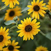 Sunflowers Bloom Art Print