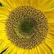 Sunflower's Cluster Art Print