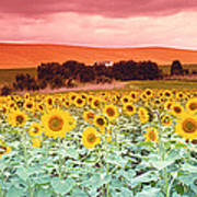 Sunflowers, Corbada, Spain Art Print