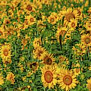 Sunflowers Helianthus Annuus Growing Art Print