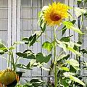 Sunflowers In The Window Art Print