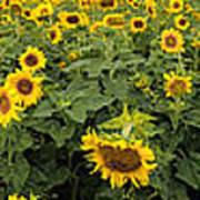 Sunflowers Panorama Art Print