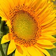 Sunkissed Sunflower Art Print