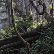 Sunlight Filtering Through An Old-growth Forest Art Print