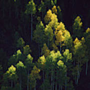 Sunlight Highlights Aspen Trees Art Print