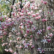 Sunlight On Saucer Magnolias Art Print
