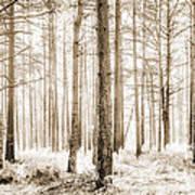 Sunlit Hazy Trees In Neutral Colors Art Print
