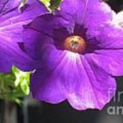 Sunlit Petunias Art Print