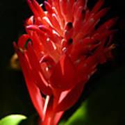 Sunlit Red Bromeliad 2 Art Print