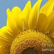 Sunlit Sunflower Art Print