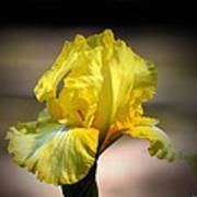 Sunlit Yellow Iris Art Print