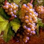 Sunny Grapes - Edition 1 Art Print