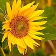 Sunny Sunflower Fields Art Print