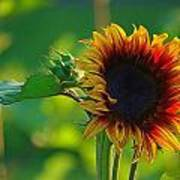 Sunny Sunflower Art Print by Denise Darby