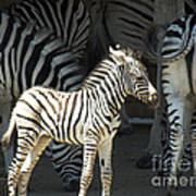 Sunny Zebra Art Print