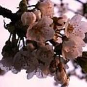 Sunset Cherry Blossoms Art Print